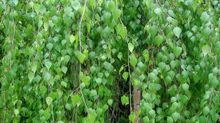 Берёза (лат. Betula)