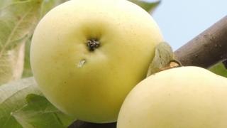 яблони сорта для сибири фото и описание