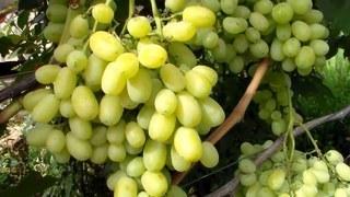 Виноград (лат. Vitis)