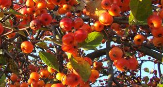 яблоня зимний шафран описание фото отзывы