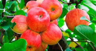 яблоня жигулёвское описание сорта фото