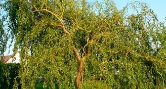 Ива (лат. Salix)