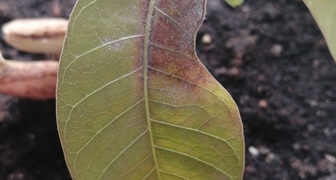 Пятна на листьях манго