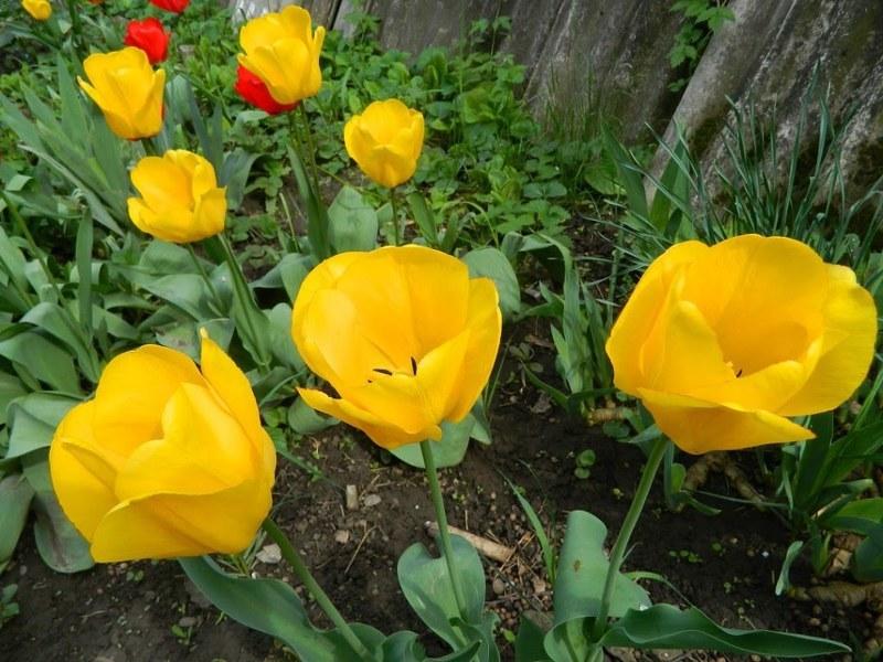 Нежные тюльпаны великолепно подходят для создания моноклумб