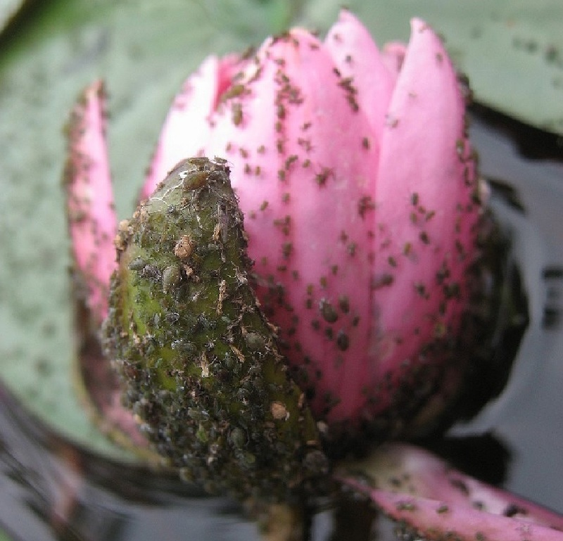 Тля не наносит вреда лилии, но портит внешний вид, и распространяет заболевания