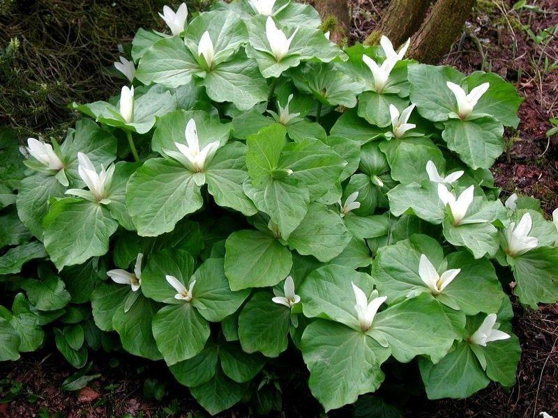 Трилиум - красивое крупнолистное растение с нежными цветами