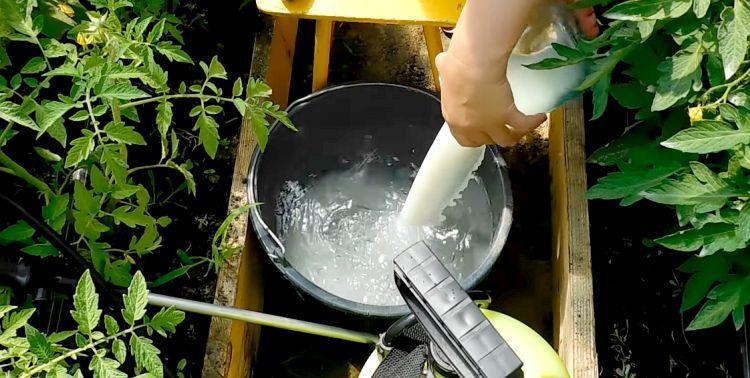 Молоко, йод и борная кислота - защита и подкормка для садовых и огородных культур
