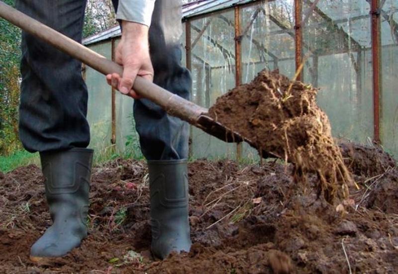 Подкормка смородины навозом для стабильного роста ветвей кустарника