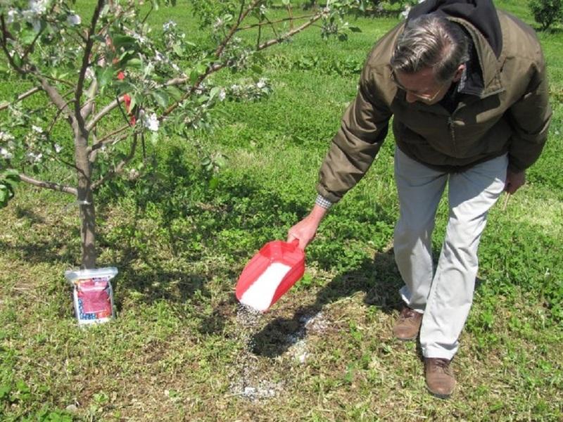 Чем подкормить яблоню в конце августа