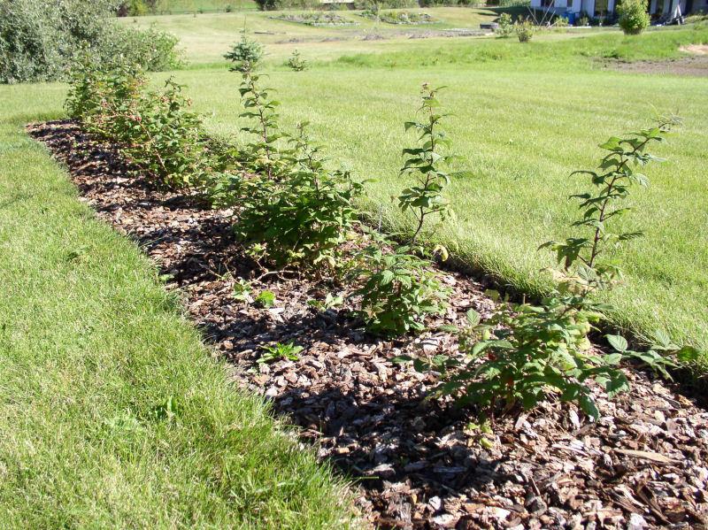 Уход за малиной осенью необходим для хорошей урожайности в будущем году