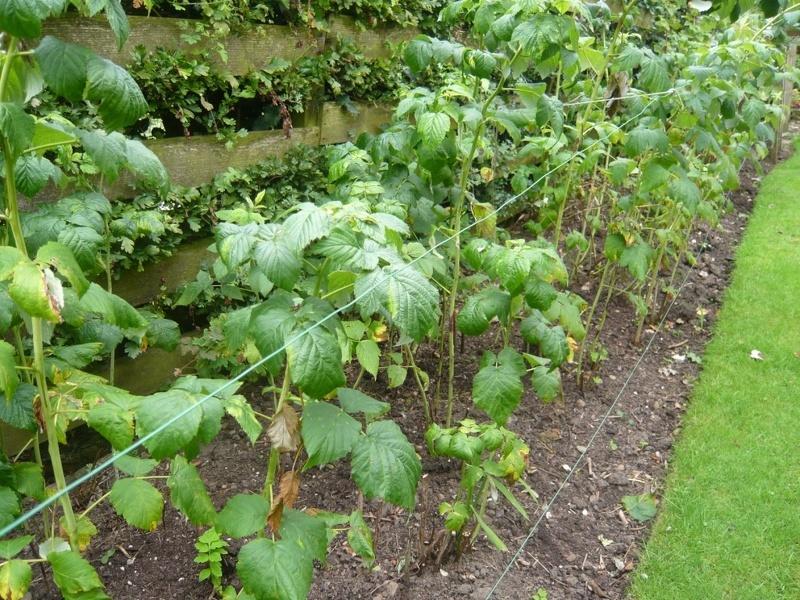 Уход за малиной после сбора урожая включает подкормку, обрезку и зимнее укрытие