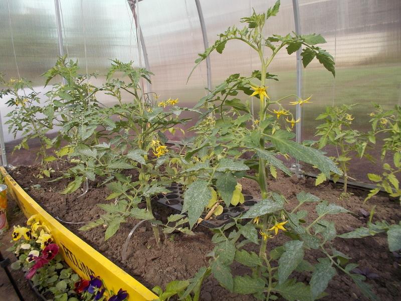 Уход за томатами в теплице во время цветения