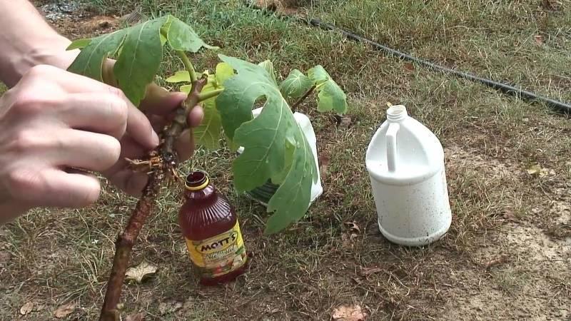 Укоренение черенков инжира в специальном растворе