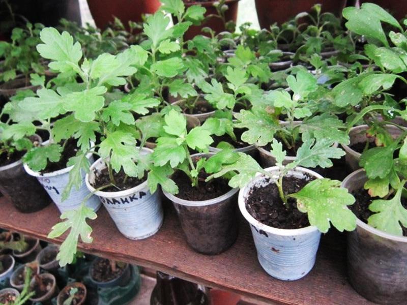 Выращивание хризантемы из черенка 4061