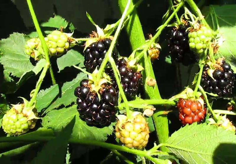 Созревание ягод Блэк Сатин происходит на протяжении всего периода плодоношения
