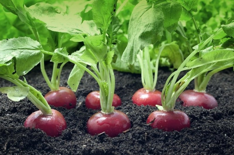 Идеальный урожай редиса в открытом грунте