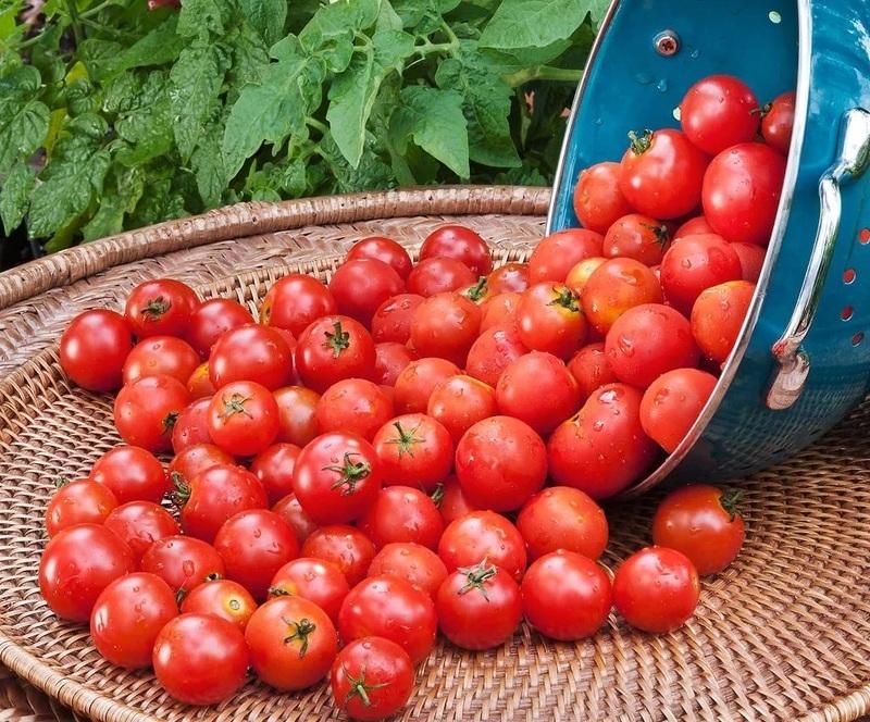 помидоры вишня красная описание сорта отзывы