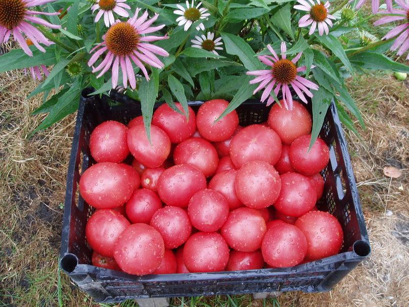 Урожай томатов Малиновое чудо