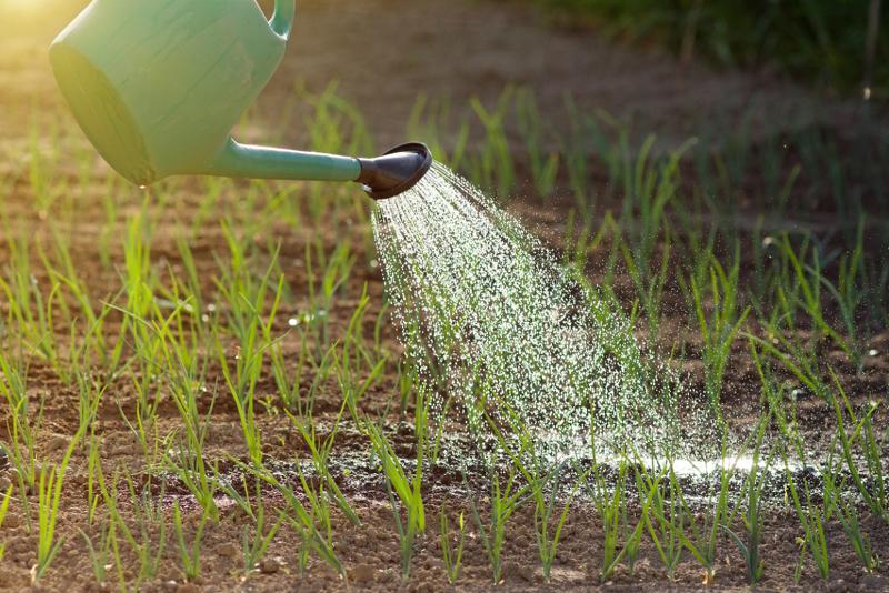 Утренний полив лука из садовой лейки