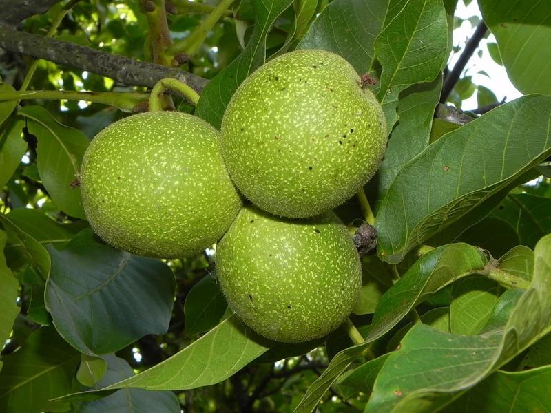 Узнать что орехи еще зеленые можно по плотно прилегающей кожуре