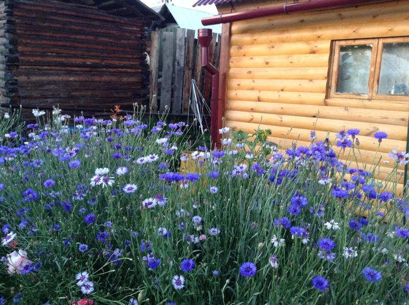 Васильки часто выбарают как цветы для сада в рустикальном стиле