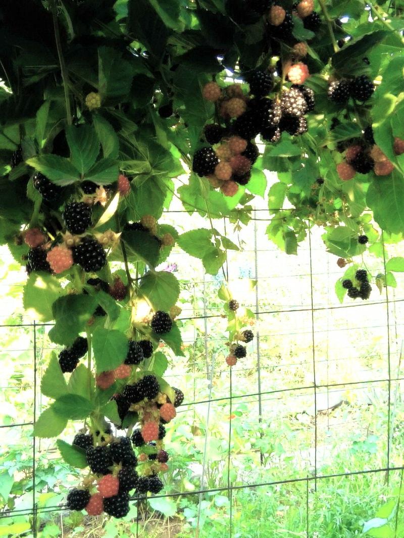 Вертикальное выращивание Блэк Сатин для создания тени в беседке