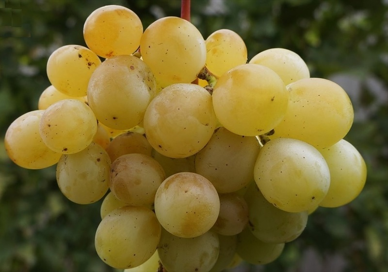 Гроздь винограда Кеша 2 или Тамерлан