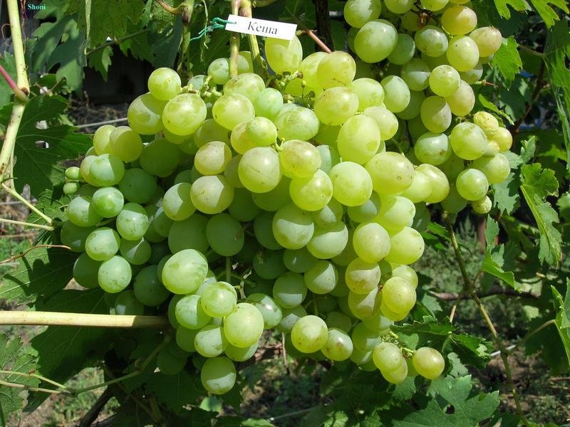 Виноград Кеша - описание сорта, фото