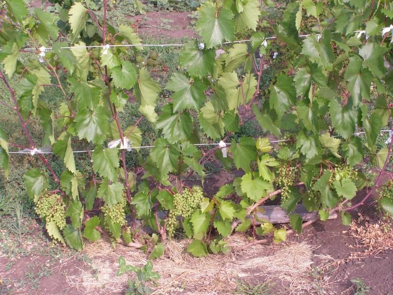 Виноград Кеша рекомендуется подвязывать к высоким опорам
