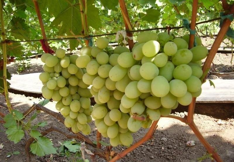 Виноград Кеша - созревающие грозди