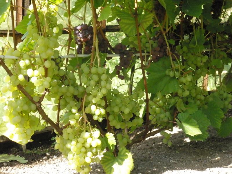 Выращивание сортового винограда 34