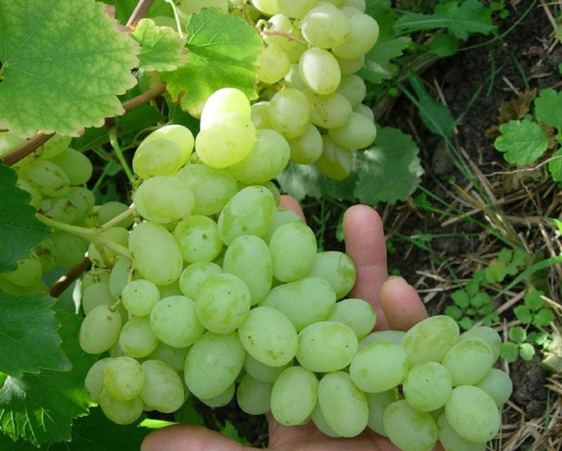 Сорт винограда Лора дает хорошие результаты при выращивании из косточки