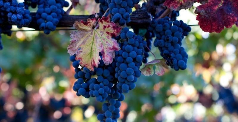 Виноград на Южном Урале