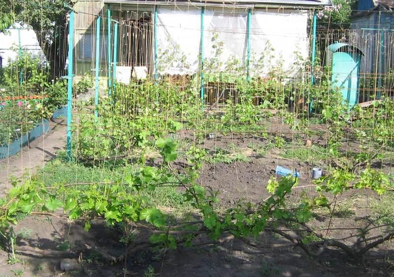 Сорт винограда Изабелла относится к высокорослым растениям и требует подвязки