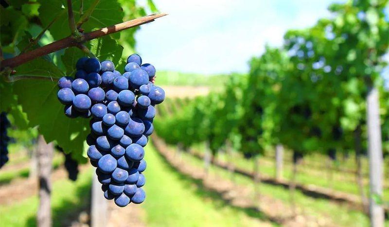 Устойчивый к антракнозу сорт винограда Саперави