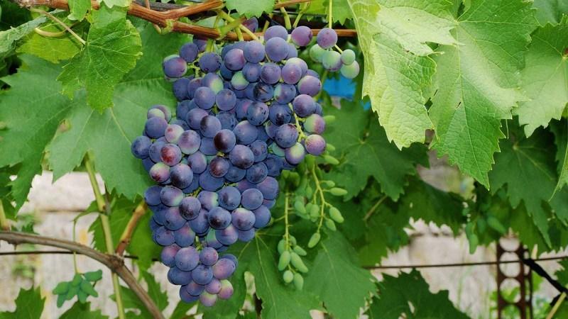 Виноград в Сибири Муромец