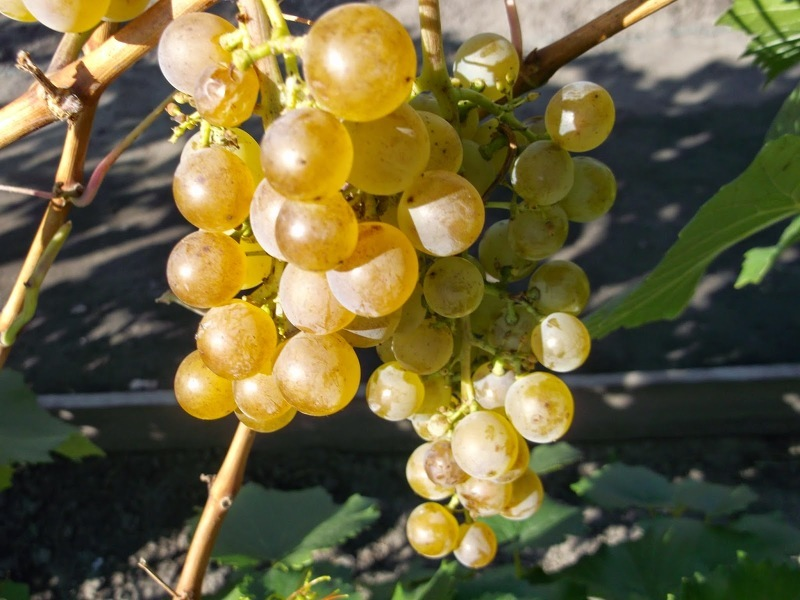 Виноград в Сибири сорта Соловьёва-58