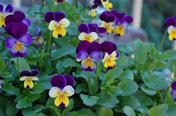 Виола ценится садоводами за яркую и необыкновенную раскраску