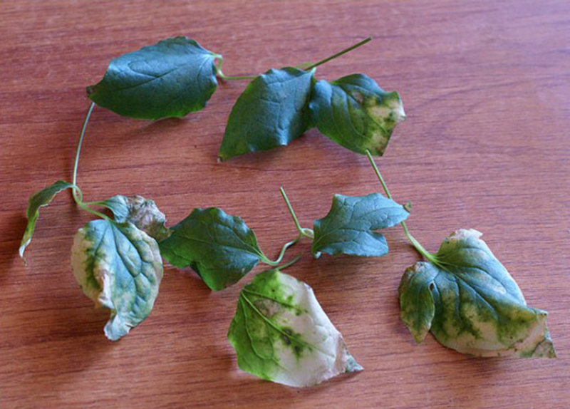 Вирусные болезни клематиса и как с ними бороться - желтая мозаика листьев