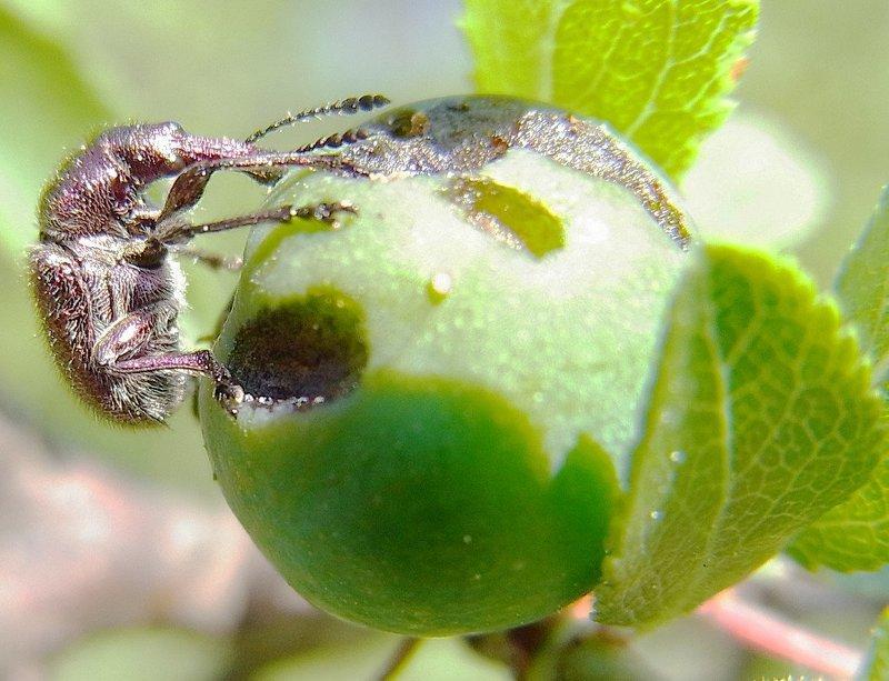 Вишневый долгоносик наносит большой вред ягодам