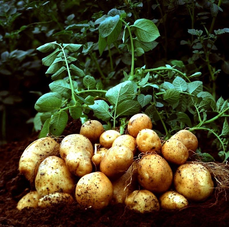 Внекорневая подкормка картофеля влияет на урожайность культуры