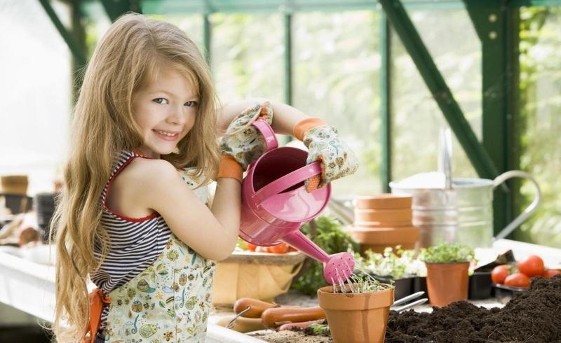 Внесение удобрений в горшки для хризантем