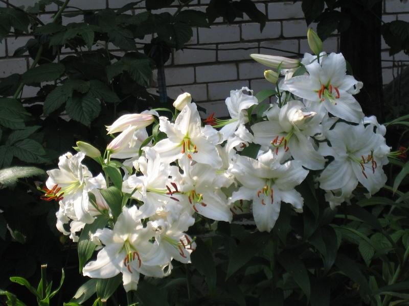 Лилии в сибири сорта