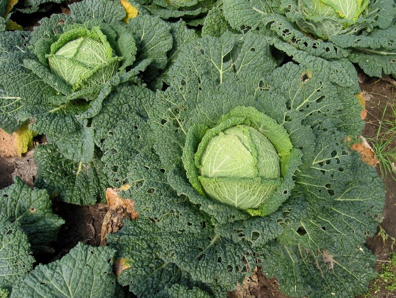 Вредители и болезни капусты: фото, описание