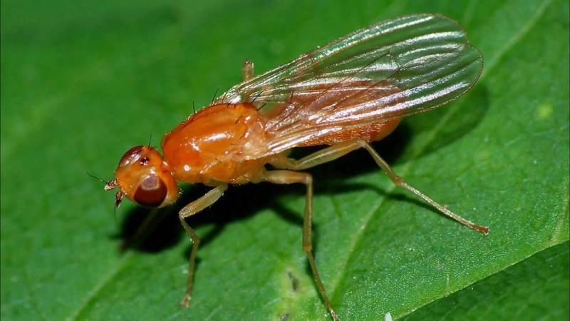 Вредители моркови и борьба с ними, фото морковной мухи
