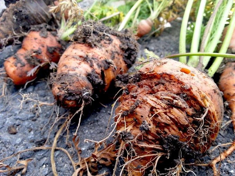 Вредители моркови могут испортить или уничтожить урожай
