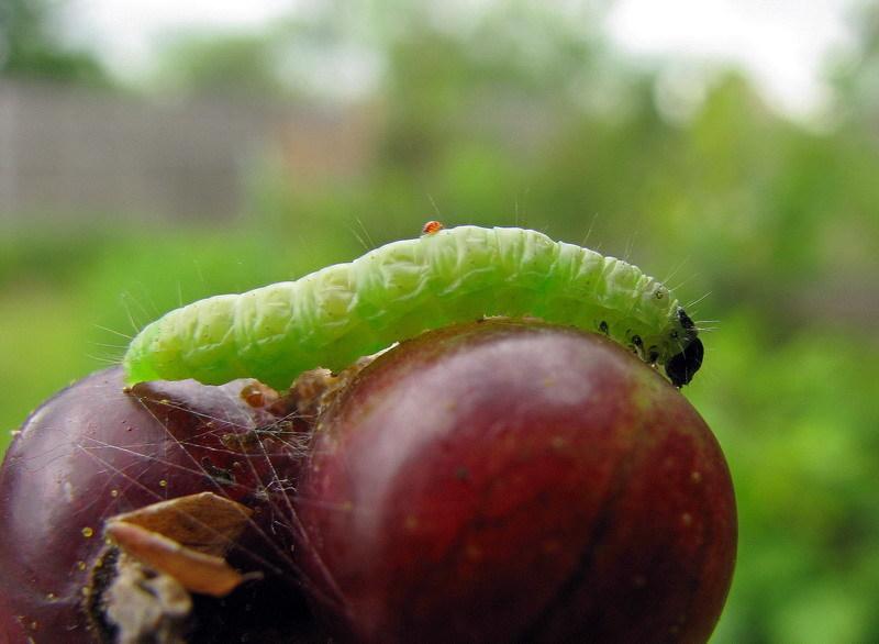 Вредители смородины - гусеницы огневки питаются ягодами