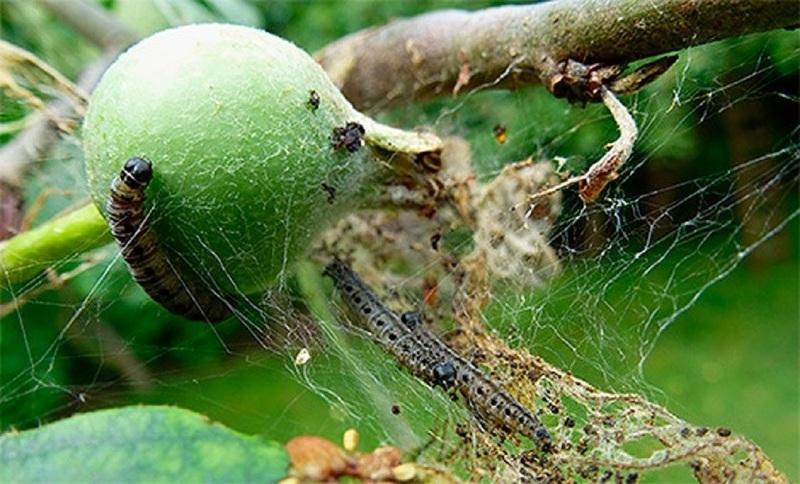 Опасные вредители яблони и борьба с ними - яблонная моль может погубить дерево