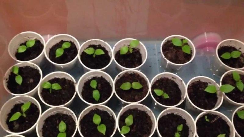 Как посадить виноград из косточки в домашних условиях
