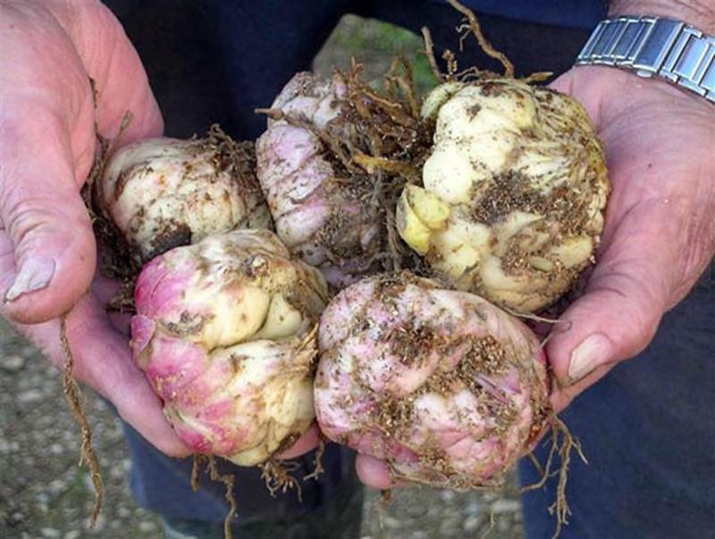 Выбираем правильно луковицы лилии